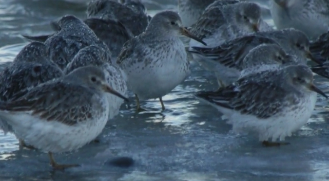 Wintering Pribilof rock sandpiper science