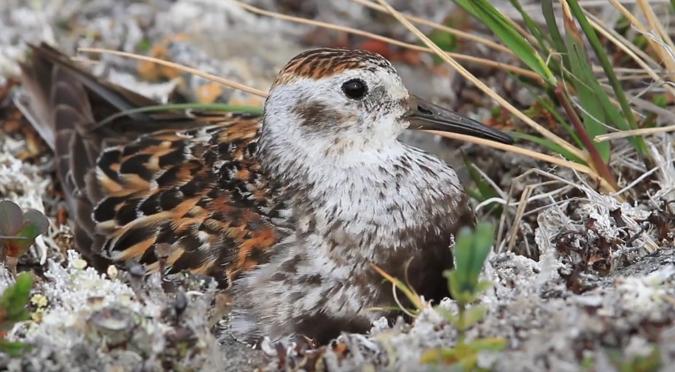 Shorebird migration International Bird Ambassadors