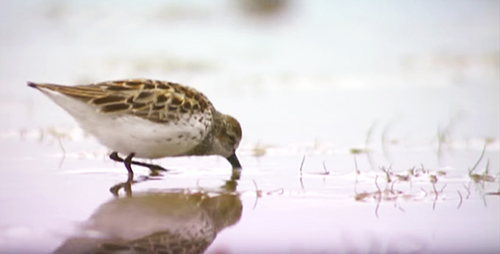 Animal ambassador shorebirds travel worldwide