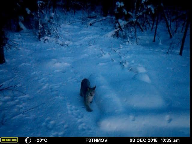 A lynx walks near a buried seismometer in a frame from a game-camera video. Seismologist Carl Tape installed the camera to confirm that bears were digging up his equipment. / Image courtesy Carl Tape