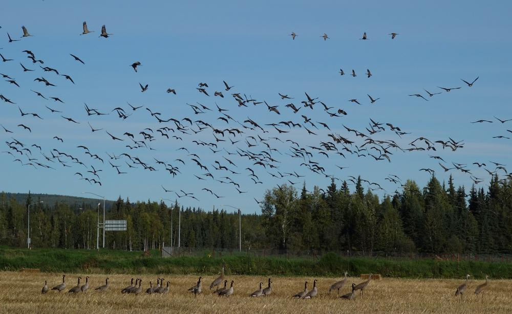 Sandhill cranes and Canada geese in the UAF farm fields, which have been cleared of trees for more than a century. / Photo by Ned Rozell