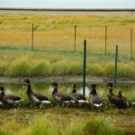 Carbon dioxide, geese and greenhouse gasses