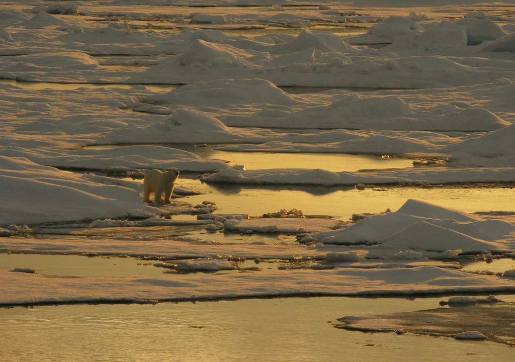 Polar bear on sea ice. Alaska, Beaufort Sea. / Courtesy NOAA National Ice Center, collection of Dr. Pablo Clemente-Colon