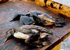Birds killed as a result of oil from the Exxon Valdez spill. / Courtesy Exxon Valdez Oil Spill Trustee Council