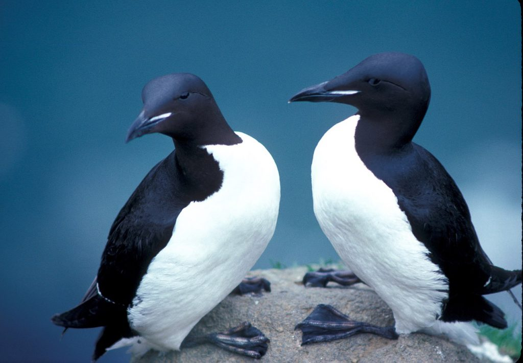Thick-billed Murres (Uria lomvia) in Alaska refuge. / Courtesy United States Fish and Wildlife Service